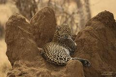 leopard, leopards