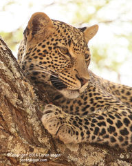 leopard, leopards