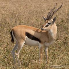 Thomson Gazelle Posed
