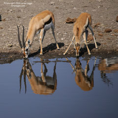 Watering Hole Reflections