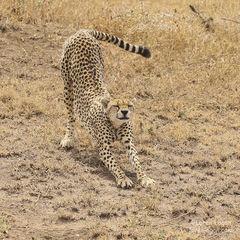 cheetah, cheetahs