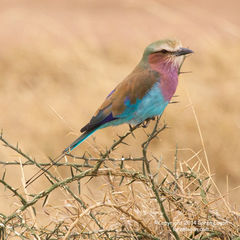 Lilac-breasted Roller and Thorns