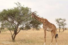 giraffes, giraffe