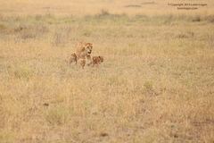 lion, lions