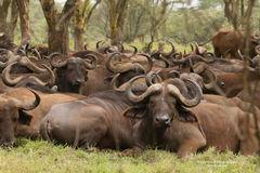 The Herd Rests