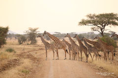 giraffe, giraffes