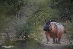 hippos, hippo, hippopotamus