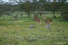 zebra, zebras, giraffe, giraffes