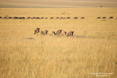 Great Migration, wildebeest, Maasai Mara
