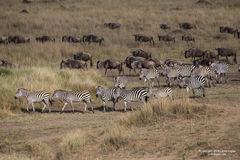 zebra, zebras, wildebeest