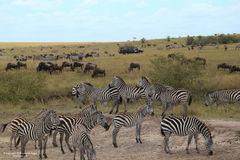 zebra, zebras