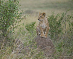 lion, cub, masai mara, africa