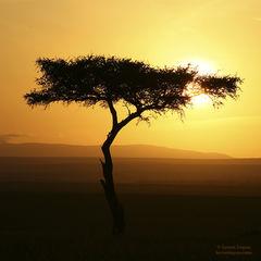Acacia Puesta del Sol