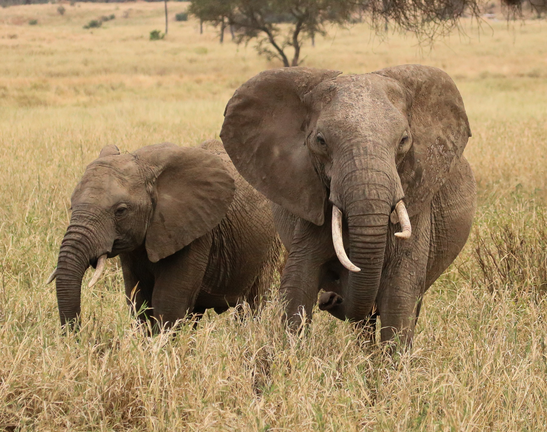 2014 Wild Elephants custom size This momma and adolescent are symbolic of thelife encompassed in my 2014 Wild Series. It seems...