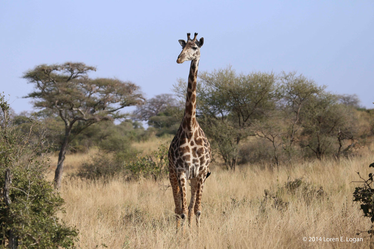 giraffe, giraffes, photo