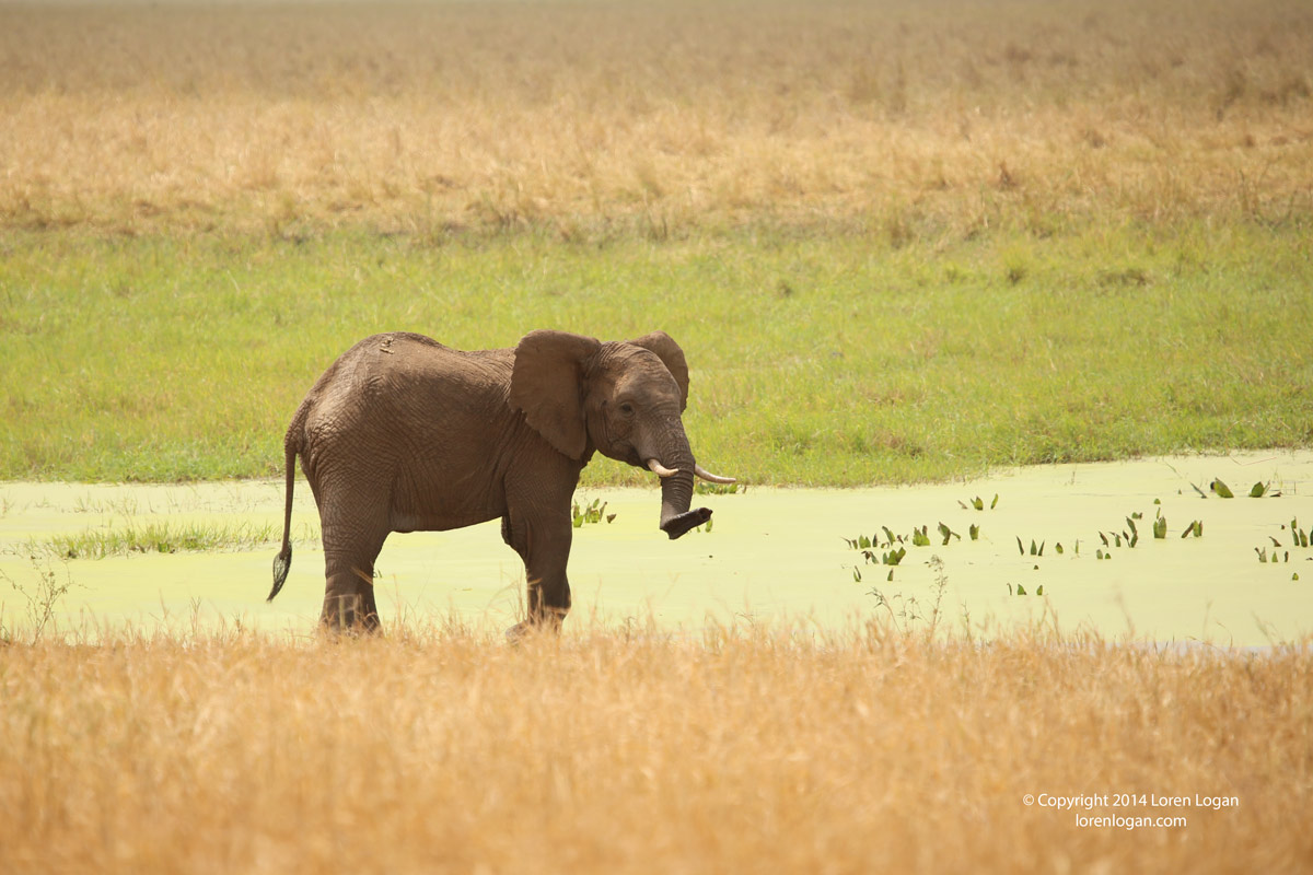 Swaths of green contrasted with yellow and shadows of overhead clouds embrace this lone elephant as it pauses for a glance up...