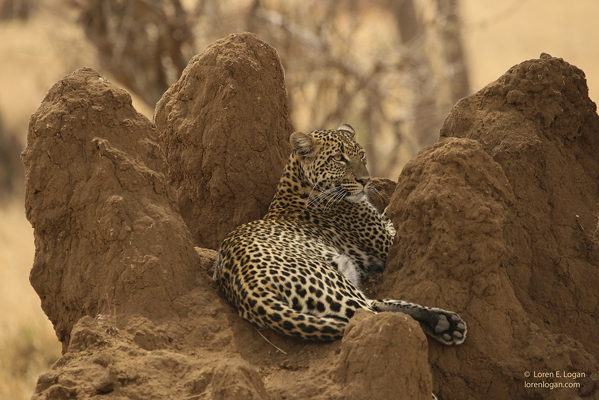 leopard, leopards, photo