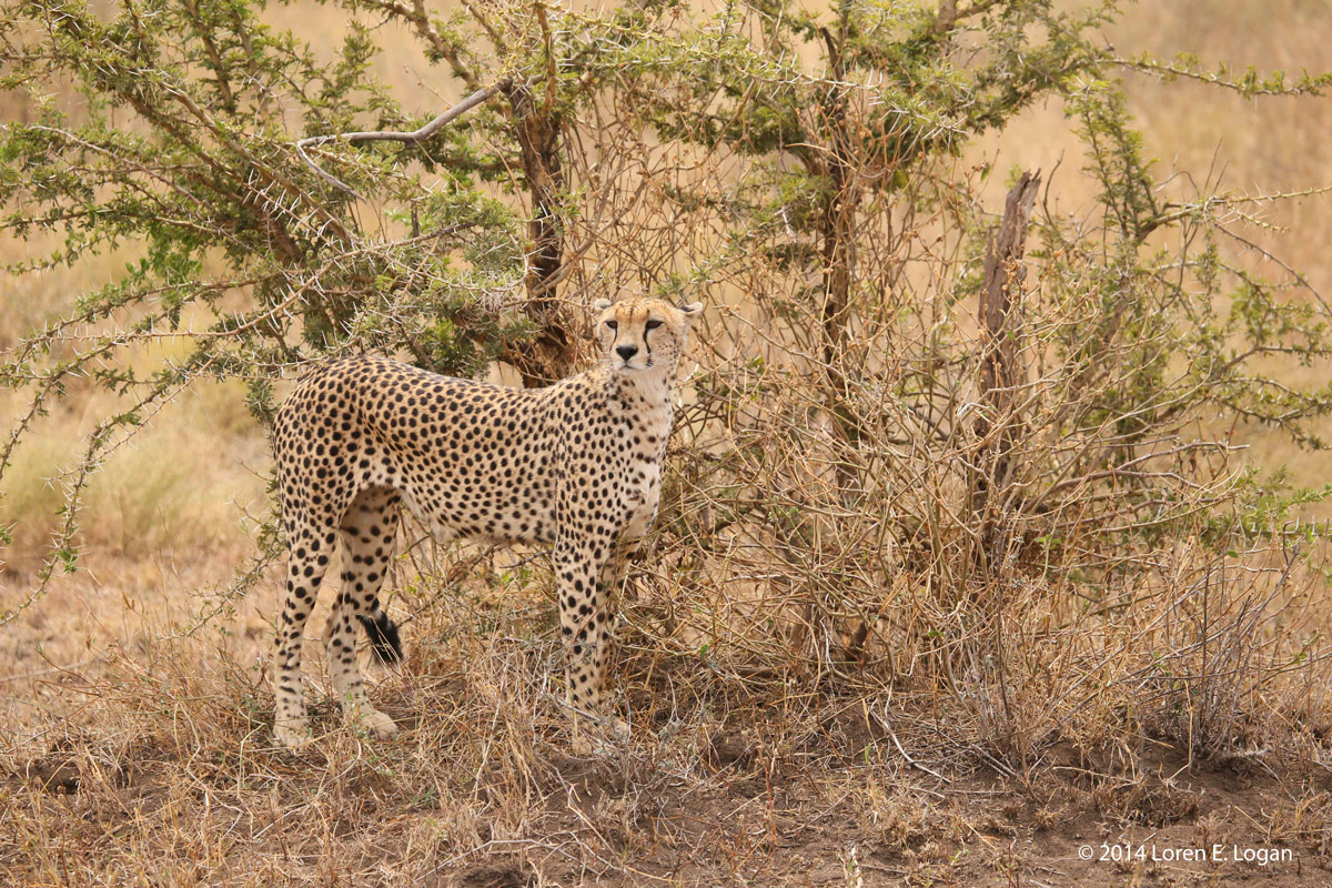 Cheetah, cheetahs, photo