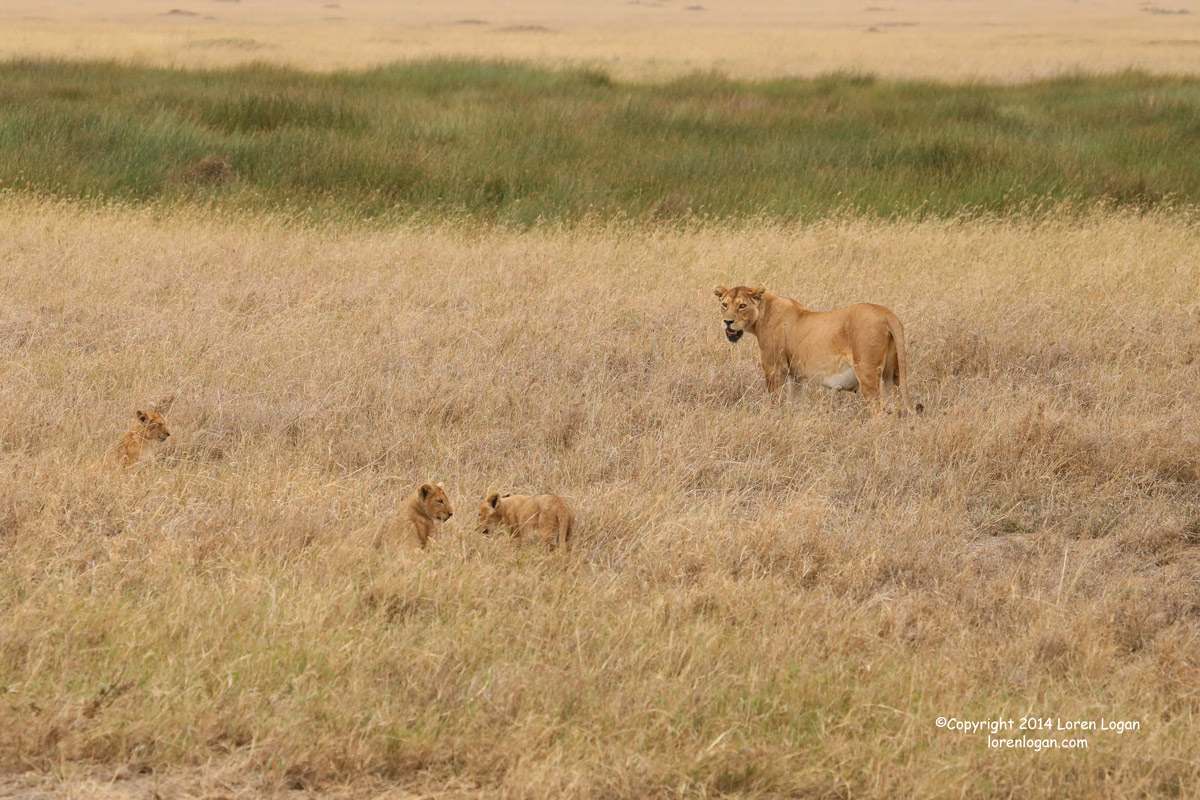 After wrestling near the stream post-drinking, Mom encourages the group to move off. The cubs comply, somewhat, but still seem...