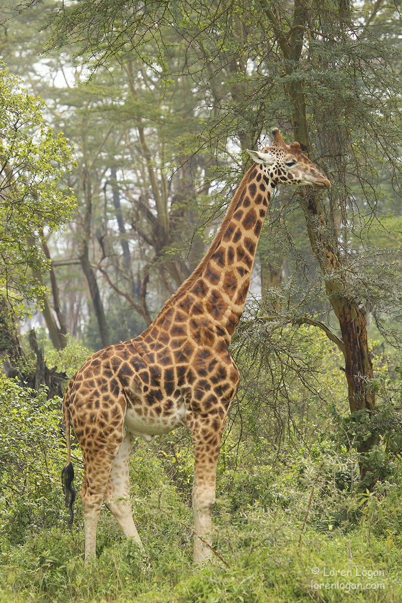 Evening at Lake Nakuru. This beautiful Rothschild giraffe moves with grace through the forest at dusk.