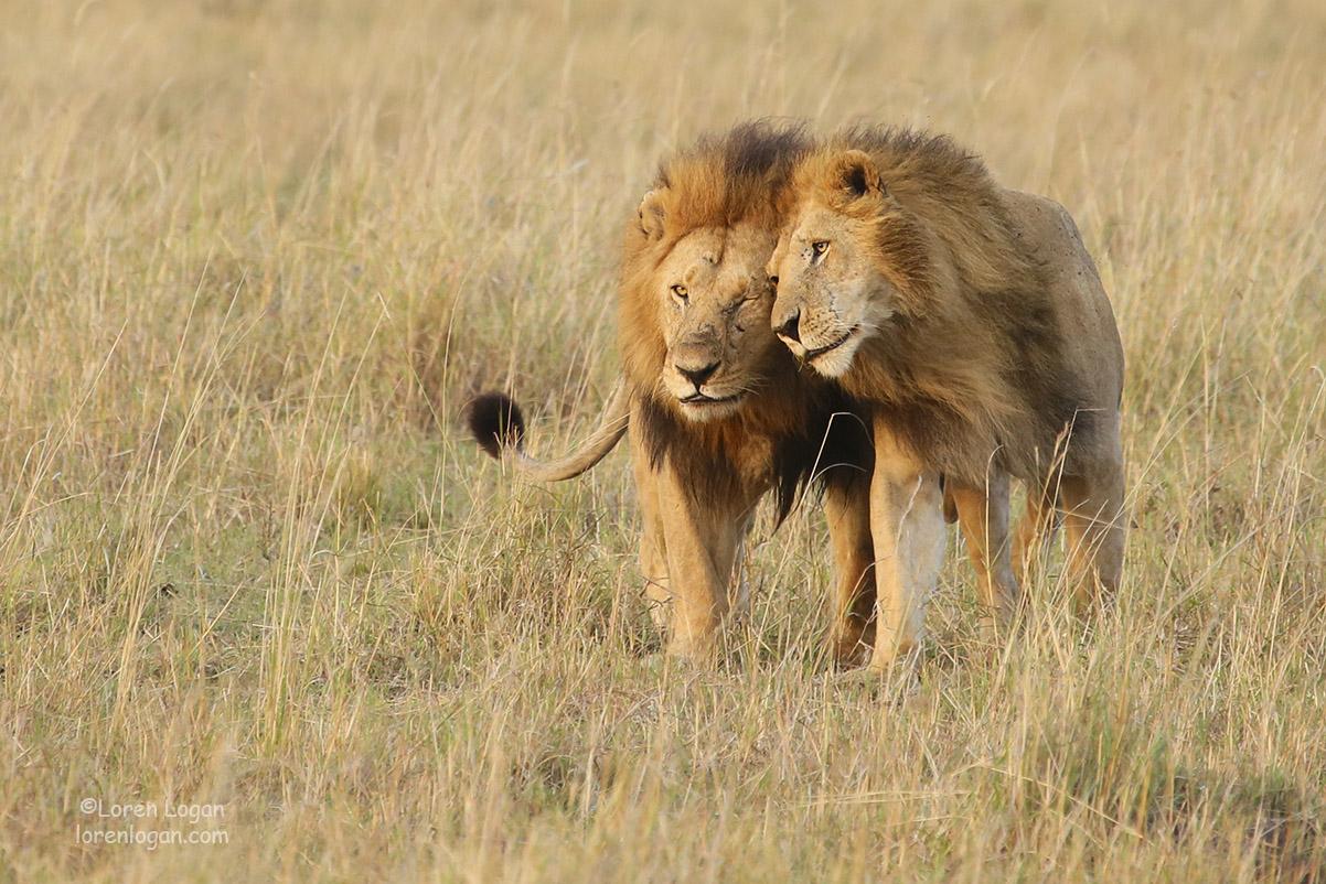 lion, lions, photo