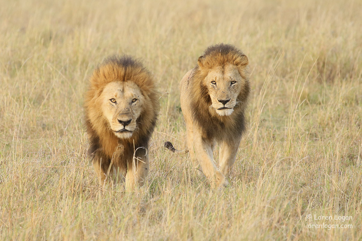 We watched these two lions greet and then head off crossing the reserve together. Walking toward us like this, with the sun shining...