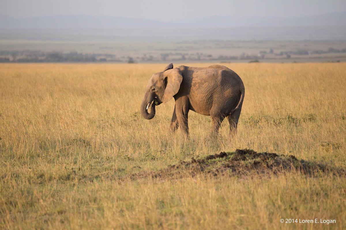 elephant, elephants, photo