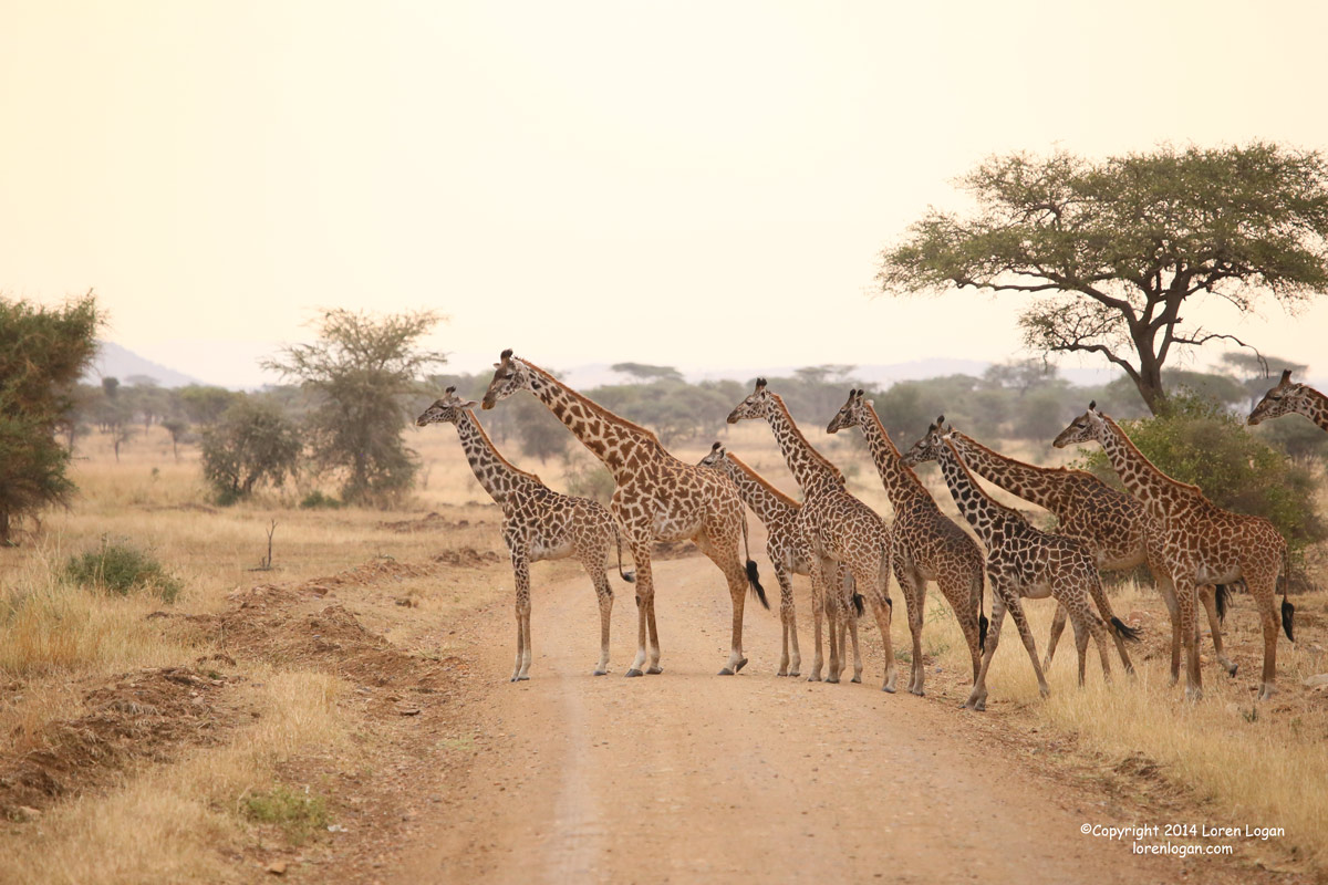 giraffe, giraffes, photo