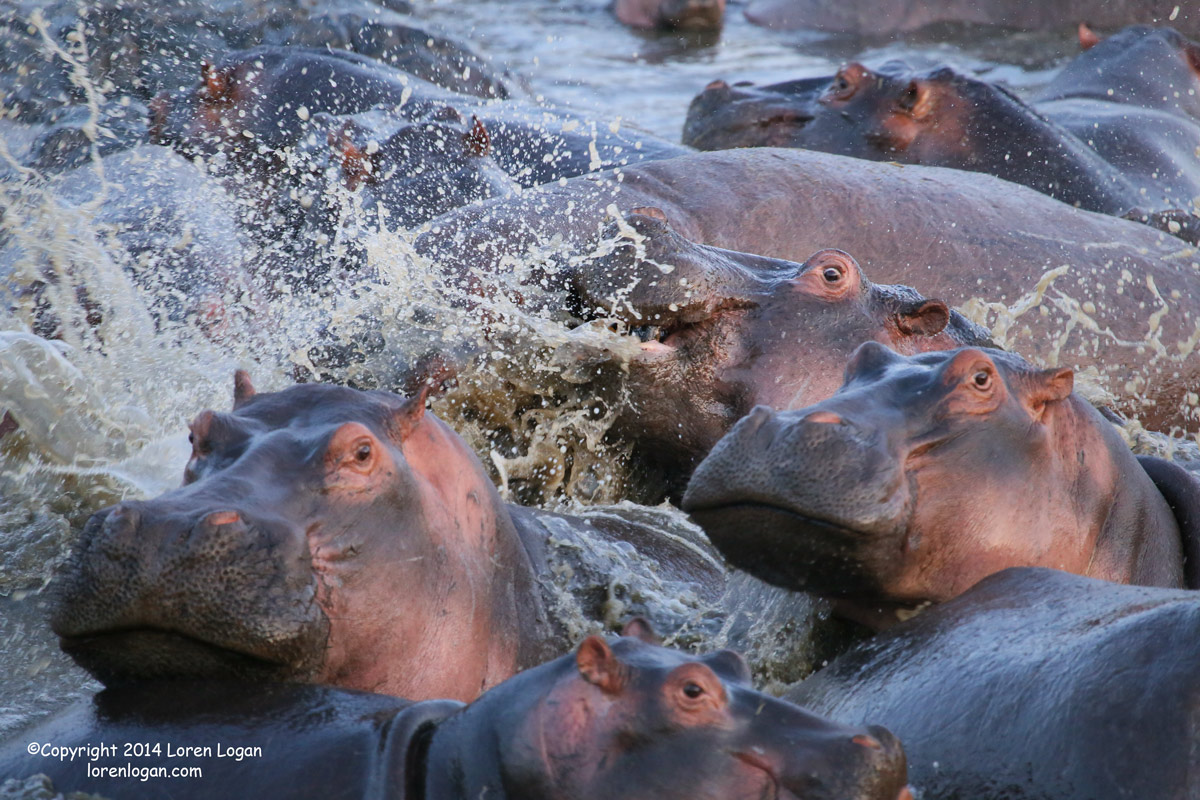 Morning at the hippo pond. Much splashing and so many hippos!