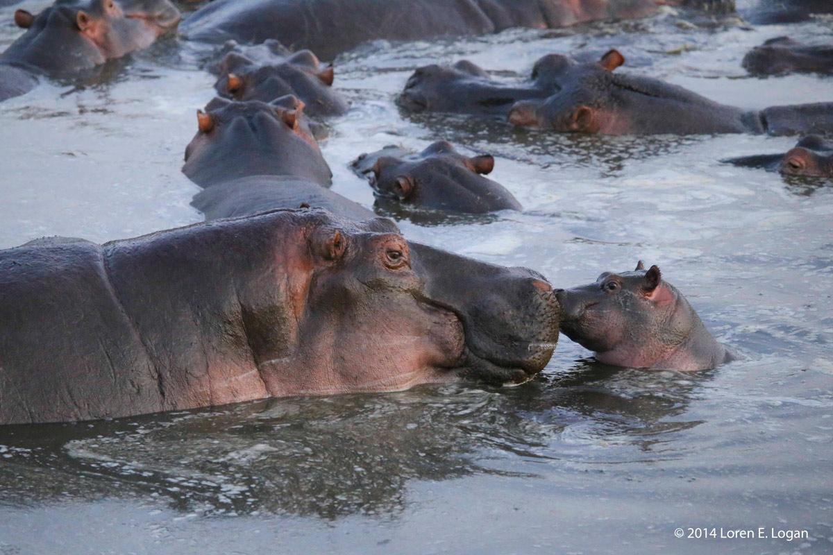 hippo, hippos, hippopotamus, photo