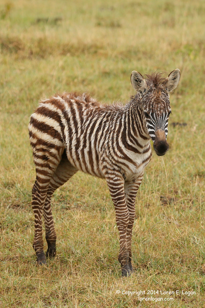This baby zebra still wet from falling rain drops, coat in disarray, muddy feet and ankles, post-shower energy filling the little...