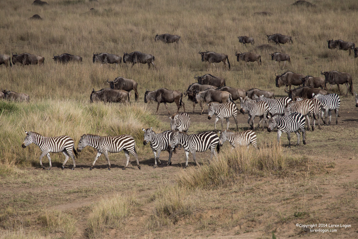 zebra, zebras, wildebeest, photo