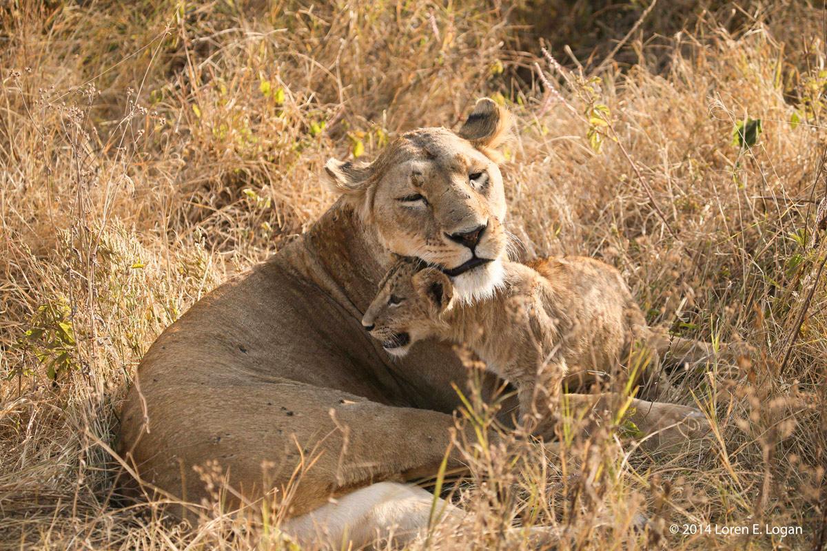 lions, photo